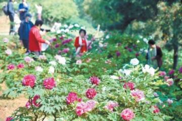 2021北京牡丹文化节开幕将持续至5月下旬